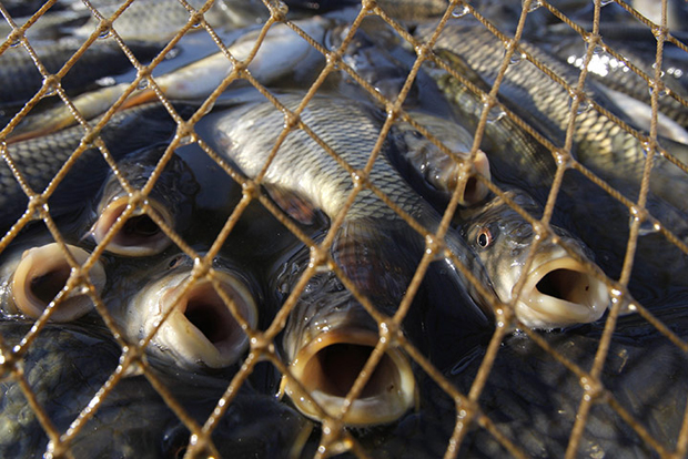 Fish-covered-by-net-durin-011